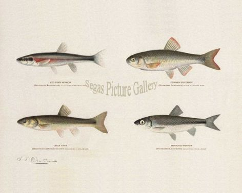 Fish Print of the Red-Sided Minnow, Common Silverside, Creek Chub, Red-Nosed Minnow by Sherman F Denton (1902)